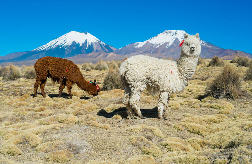 Alpacas in Bolivian highlands