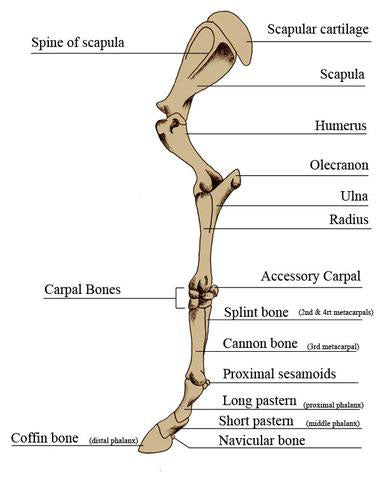 Horse Anatomy Mobility Health