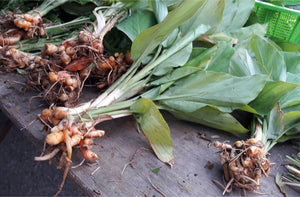 Our Ingredients - Turmeric (Curcuma longa)