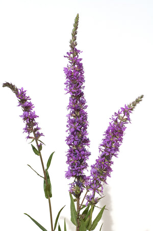 Purple Loosestrife Flower Head
