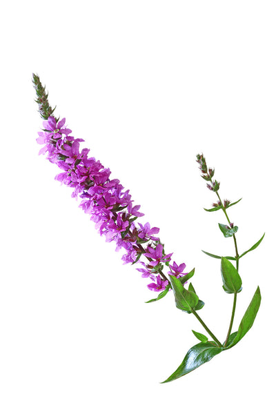 Oakem : Purple Loosestrife 60 Capsules