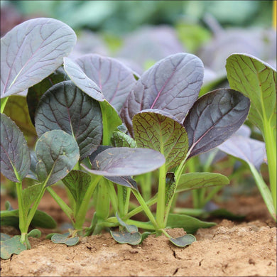 Cabbage - Red Choi - Dundee Organix