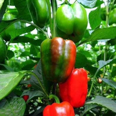 Capsicum ' Territory Sunset '-Vegetables-Dundee Organix