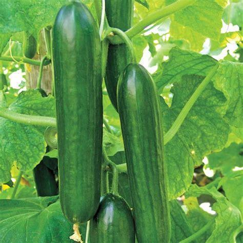 Cucumber 'Beit Alpha'-Vegetables-Dundee Organix