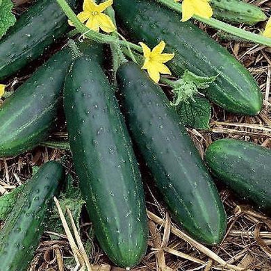 Cucumber 'Poinsett'-Vegetables-Dundee Organix