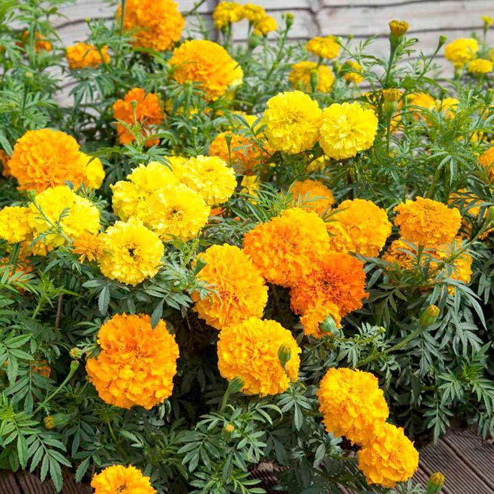 Marigold African Crackerjack-Vegetables-Dundee Organix