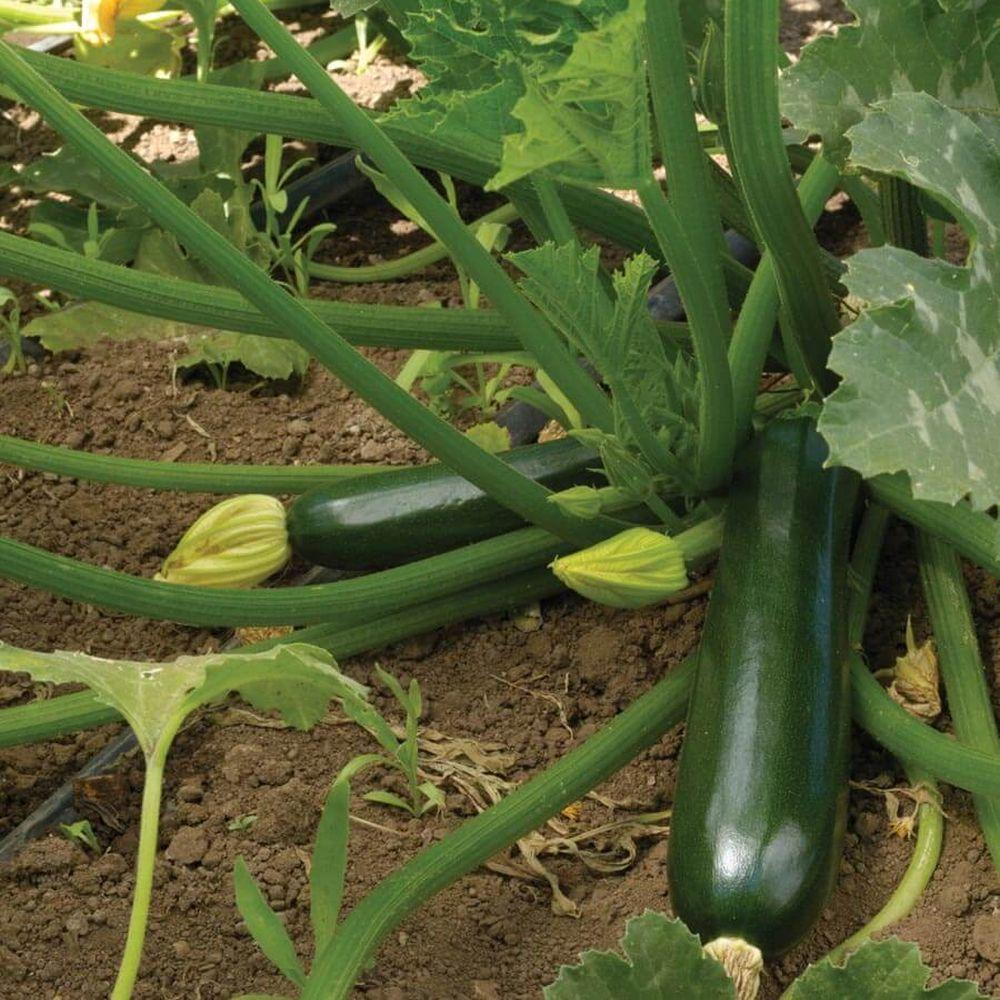 Zucchini ' Black '-Vegetables-Dundee Organix