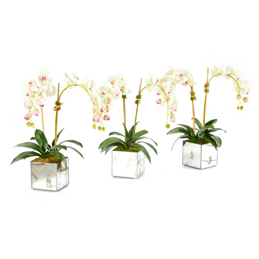 White Orchids in Mirror Box Planter
