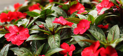 Impatience Breeds Impatiens