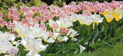 Spring Bulbs… A Case of Delayed Garden Gratification