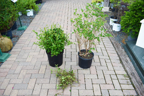 Comparison of a properly pruned lilac and a poorly pruned one