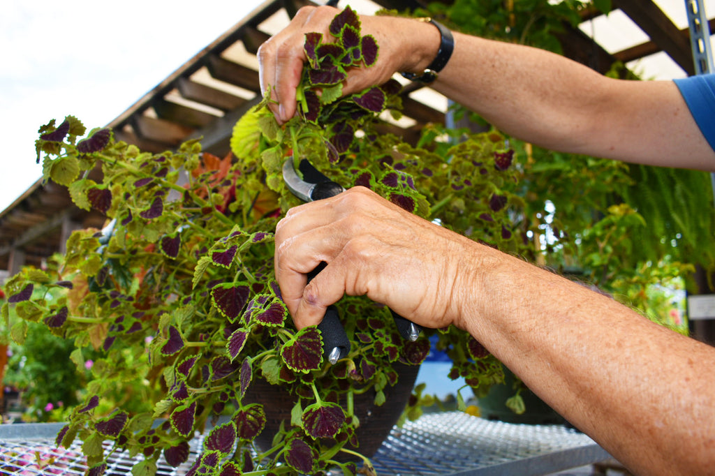 Trimming a Coleus Basket