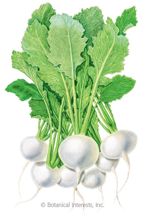 Seeds, Market Express Turnip
