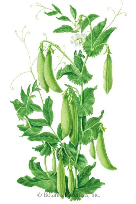 Seeds, Sugar Daddy Snap Pea