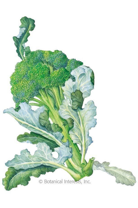 Seeds, Waltham 29 Broccoli