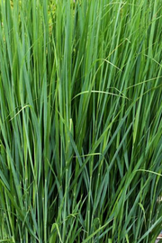 Switchgrass, Northwind