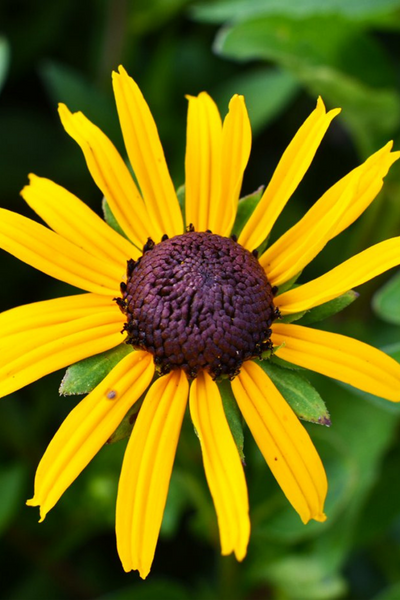 Black-Eyed Susan, Goldsturm
