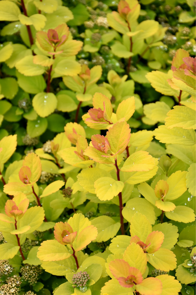 Spirea, Glow Girl® Birch Leaf