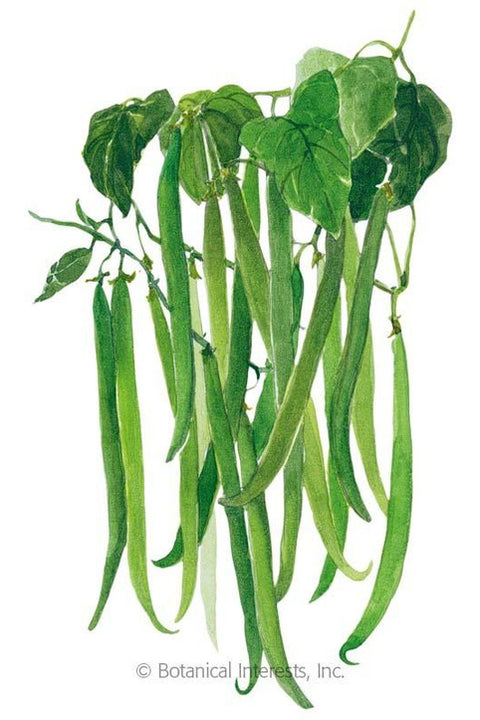 Seeds, Tavera Filet Bush Bean