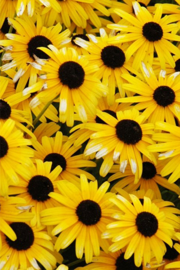Black-Eyed Susan, Viette's Little Suzy