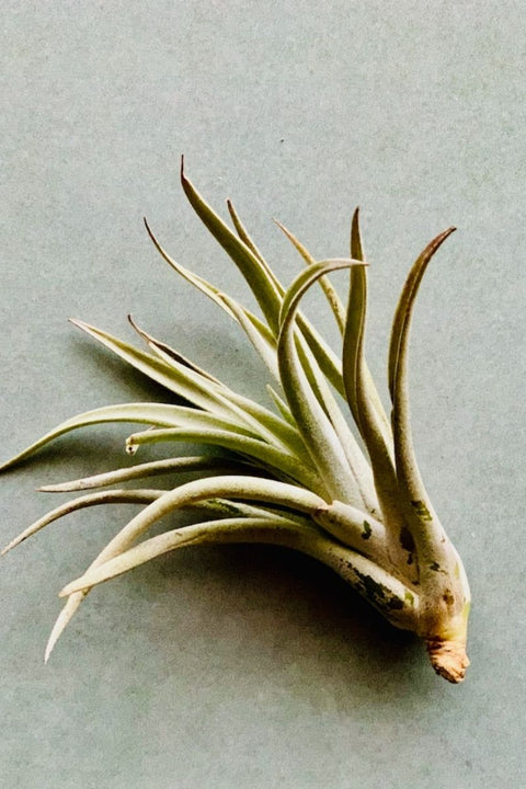 Tillandsia Harrisii Medium