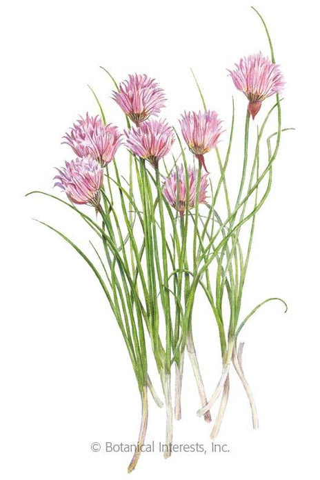 Seeds, Common Chives