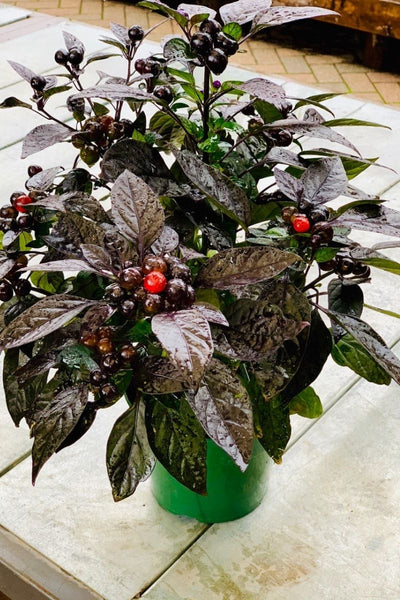 Black Pearl Ornamental Pepper 6""
