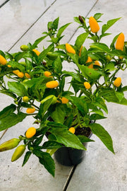 Acapulco Yellow Ornamental Pepper 4""