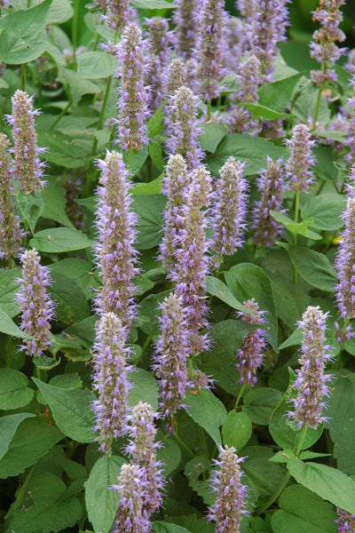 Anise Hyssop, Blue Fortune