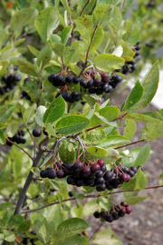 Chokeberry, Iroquois Beauty Black