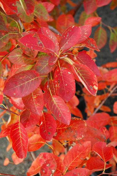 Serviceberry, Autumn Brilliance