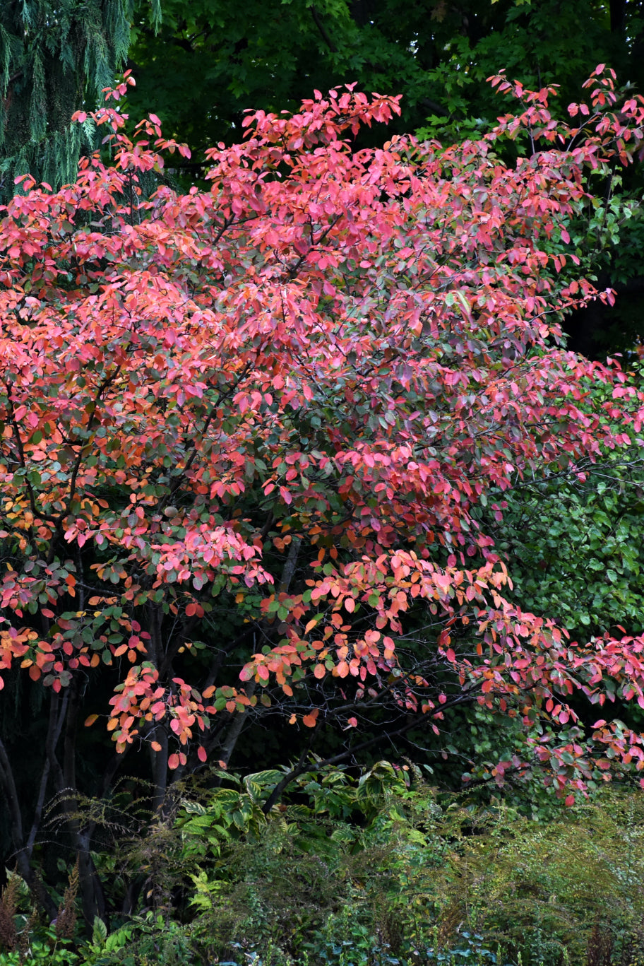 Autumn Brilliance Serviceberry