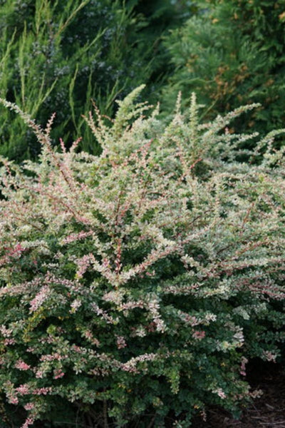 Barberry, Sunjoy Sequins®
