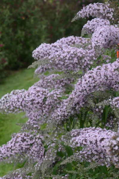 Butterfly Bush, Grand Cascade