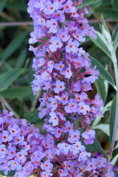 Butterfly Bush, Nanho Blue