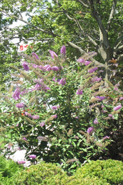 Butterfly Bush, Pink Delight