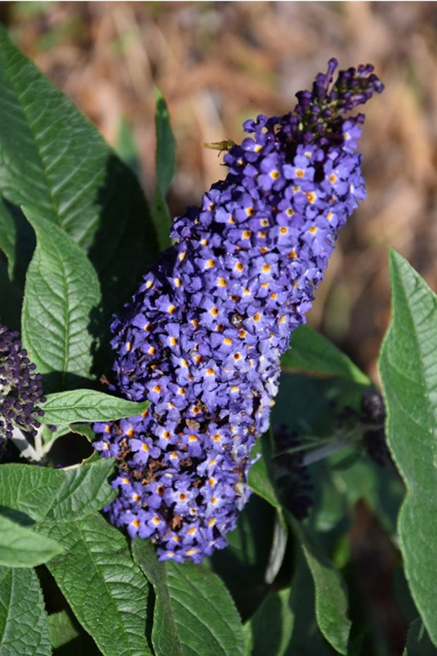Butterfly Bush, Pugster Blue