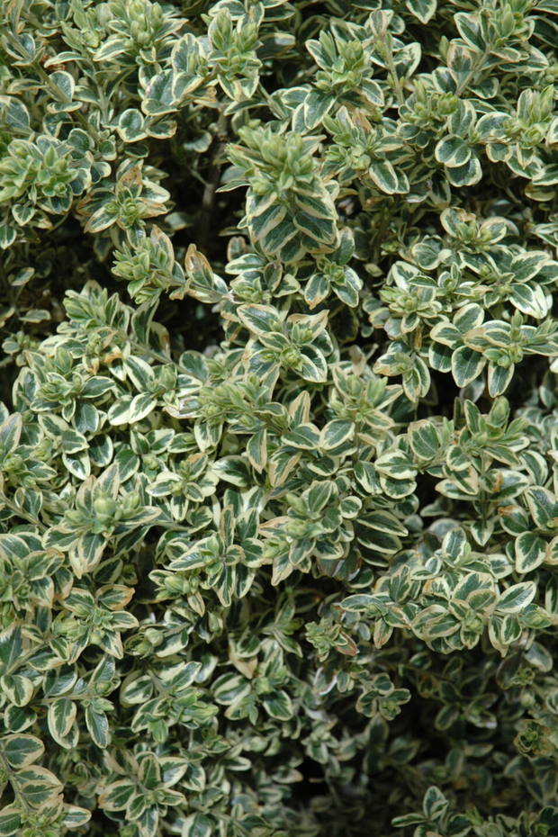 Boxwood, Variegated