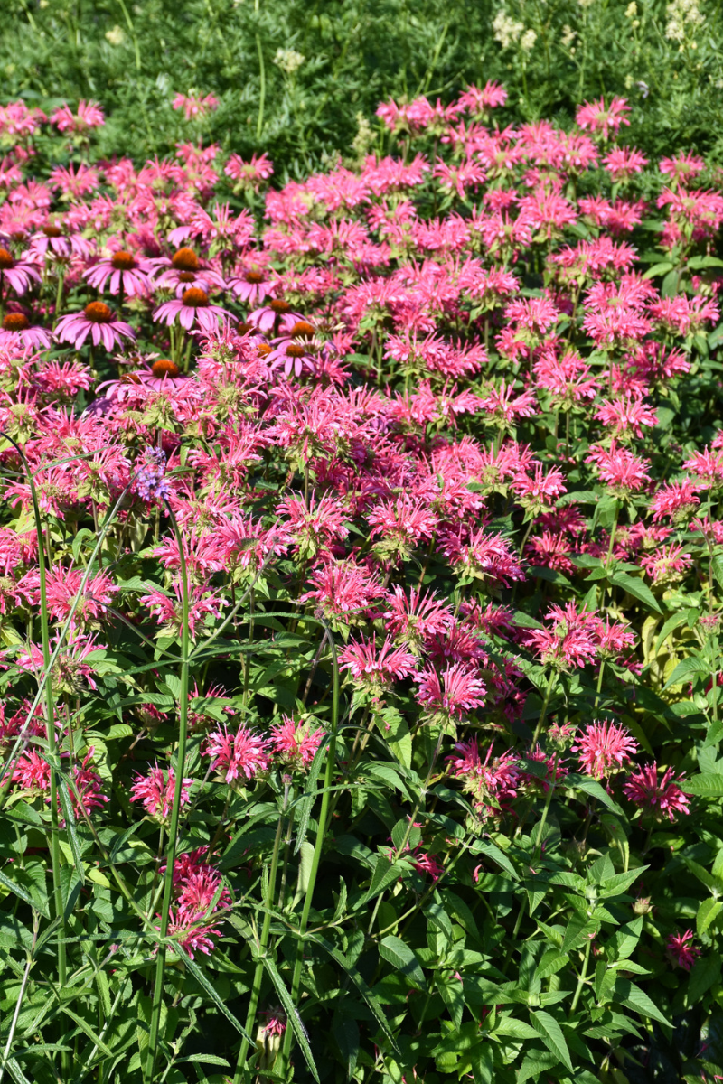 Bee Balm, Coral Reef