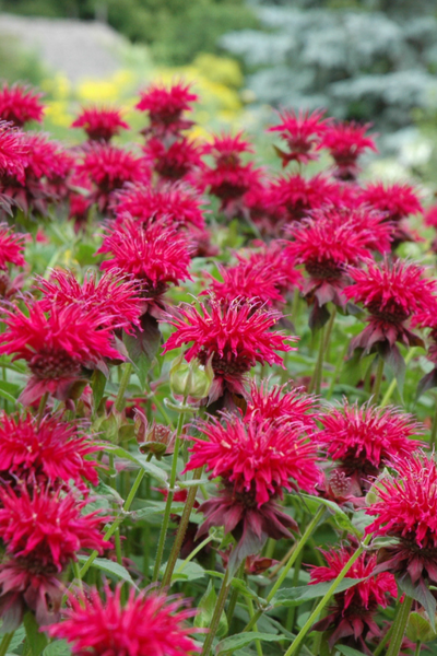 Beebalm, Raspberry Wine