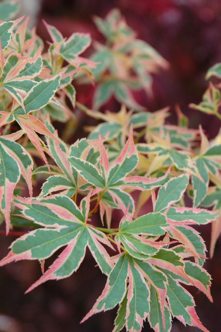 Japanese Maple: Beni Schichihenge