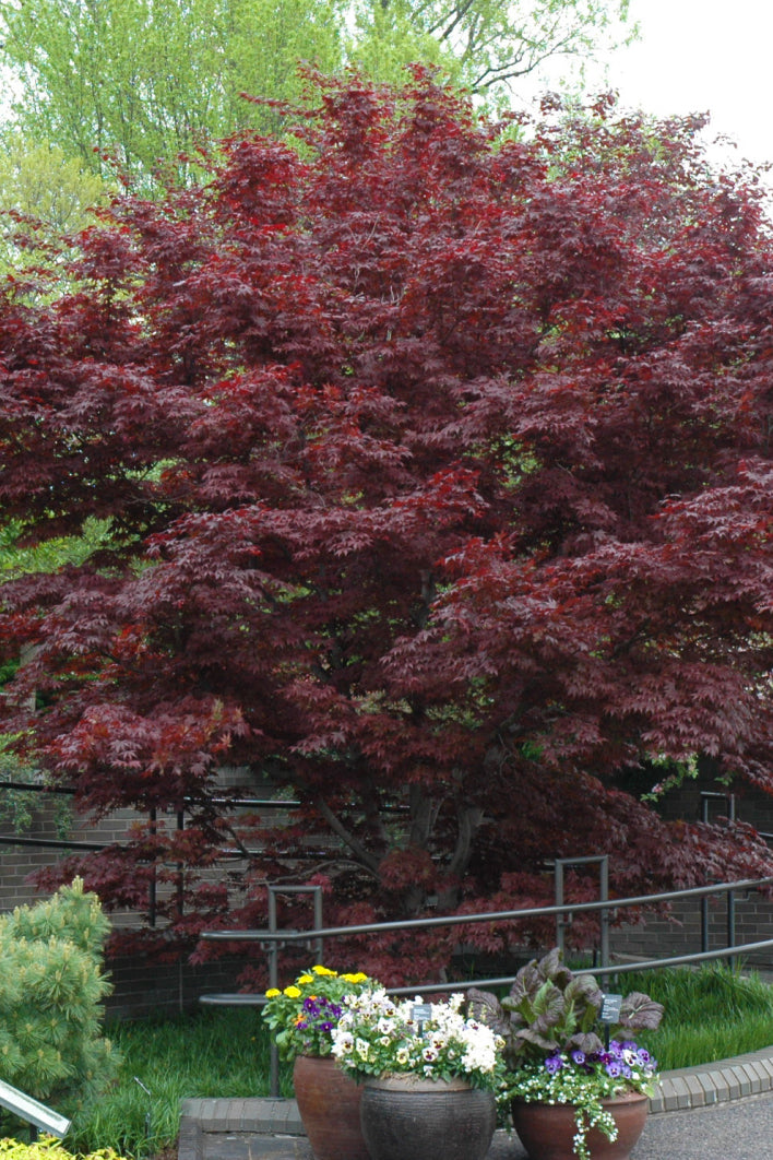 Japanese Maple: Bloodgood