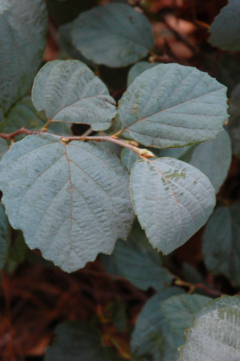 Fothergilla, Blue Shadow