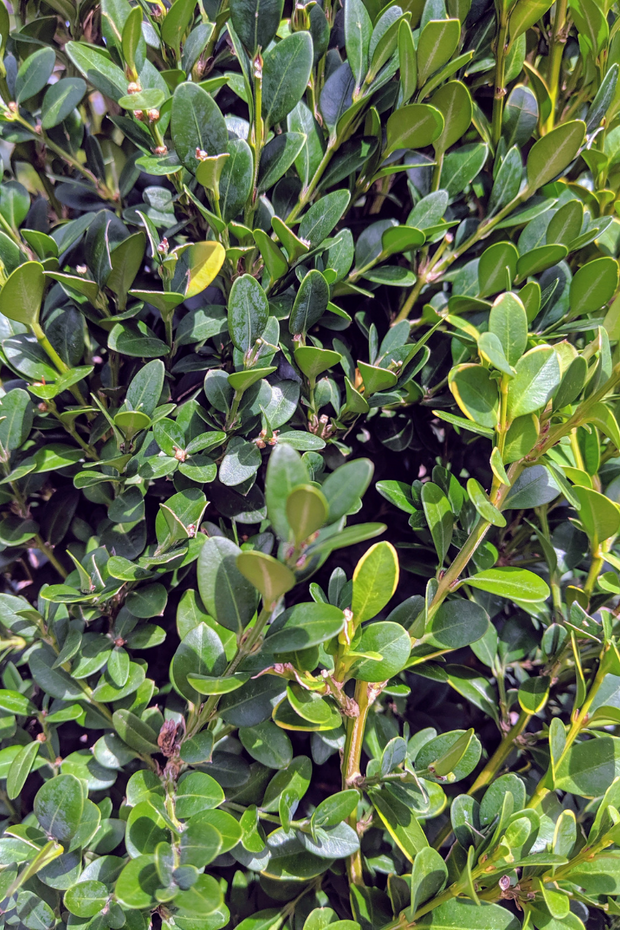 Boxwood, Green Mountain