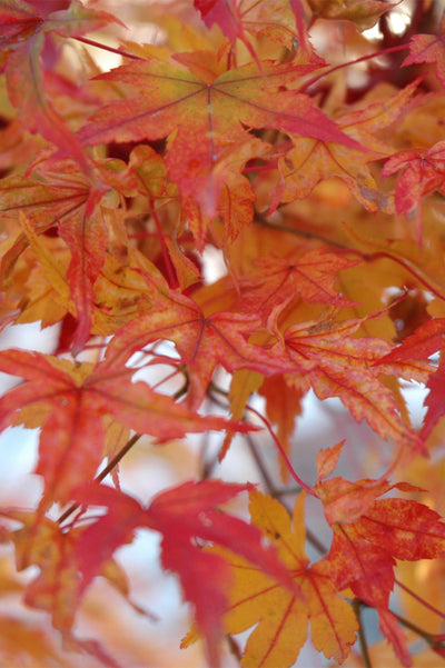 Japanese Maple, Butterfly Variegated