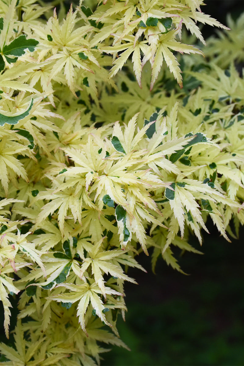 Japanese Maple Butterfly Variegated Chalet Nursery