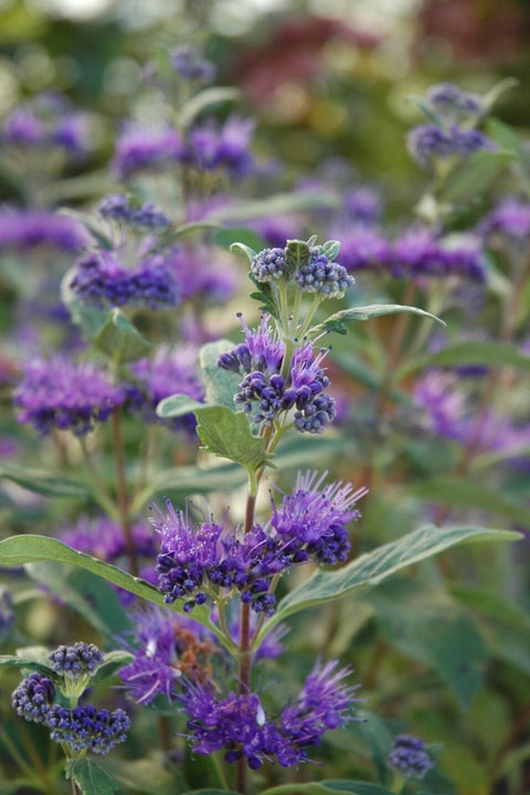 Caryopteris, Dark Knight