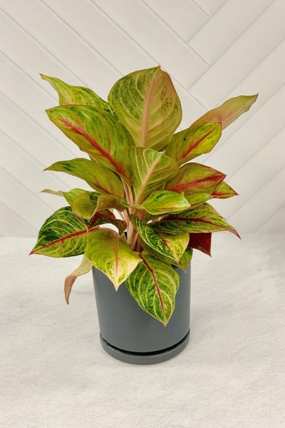 Chinese Evergreen, Golden Papa