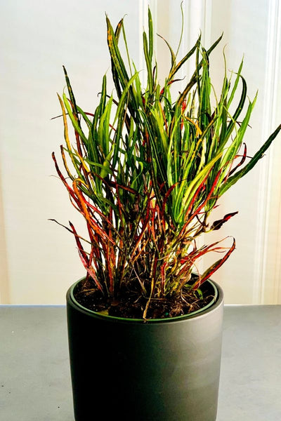 Picasso's Paintbrush Croton 6""