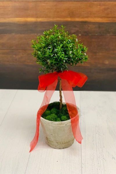 Chalet Signature | Indoor | Antique Myrtle Topiary, Red 6""